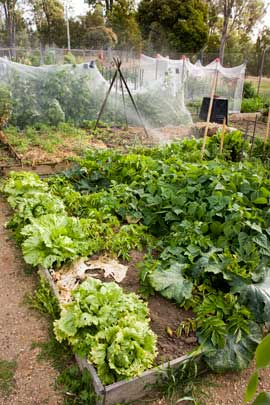 Healthy vegetables, a compost bin and mulhed gardens — all basic ingredients of successful community gardening. The netting over the crops keeps them from becoming dinner for hungry birds.