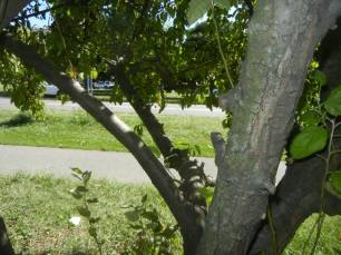 See the Crabapple tree bark? Crabapple trees are celebrated here for you to enjoy:http://en.wikipedia.org/wiki/Crabapple With the above ground subway station of Pelham Parkway in sight, continue east along Pelham Parkway until the row of more than 7 crabapples gives way to the most massive tree we have encountered on this tour. This 5 story tree lives before you get to the next intersecting street (Boston Road). Often called the Liberty Tree for its role in the American Revolution, this is an American Elm tree. Please learn more here: http://en.wikipedia.org/wiki/American_Elm