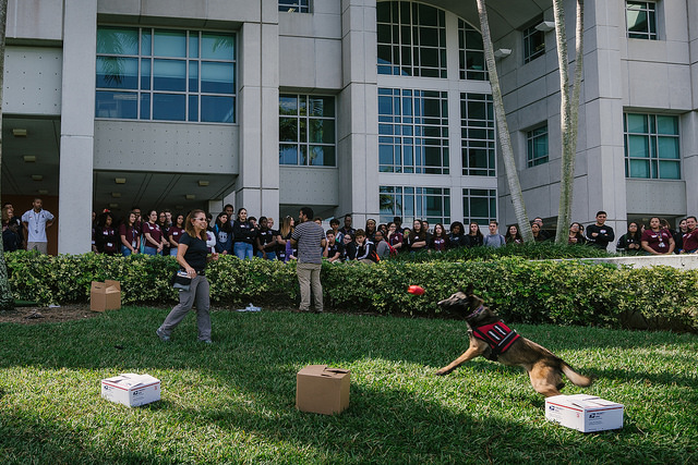High School Student Forensic Academy attendees participate in a K-9 training demonstration outside of the FIU Green Library. High School Student Forensic Academy attendees participate in a K-9 training demonstration outside of the FIU Green Library.