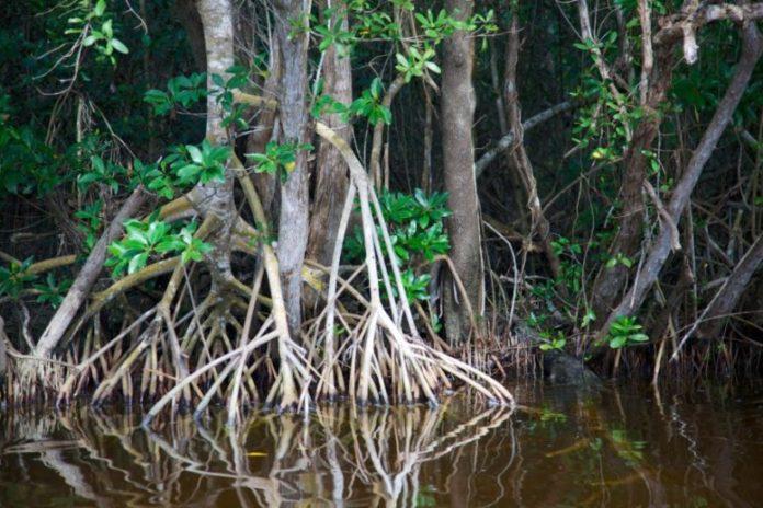 mangroves-004