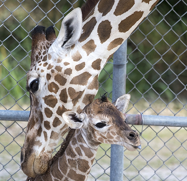 52nd giraffe born at Zoo Miami on Mar. 28