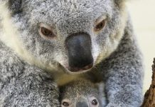 Zoo Miami announces birth of koala, 'Hope'