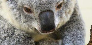 Zoo Miami announces birth of koala, 'Hope'