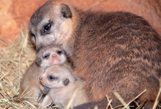 Zoo Miami announces birth of two Meerkats
