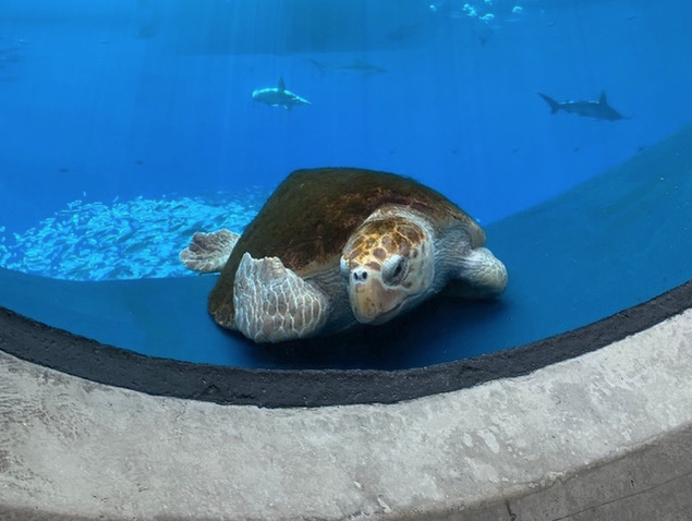 Loggerhead turtle new resident of Phillip and Patricia Frost Museum
