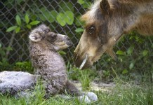 Zoo Miami announces birth of endangered Bactrian camel