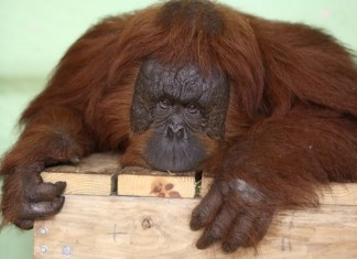 Jungle Island finds a new loving home for park's orangutan family