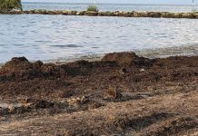 Can sargassum seaweed serve as green solution to topsoil?