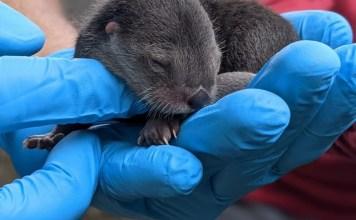Three North American river otters born at Zoo Miami