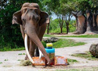 Patriarch elephant celebrates special birthday at Zoo Miami