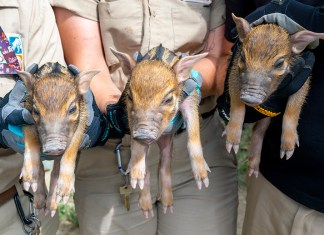 Three little pigs hogging attention at Zoo Miami