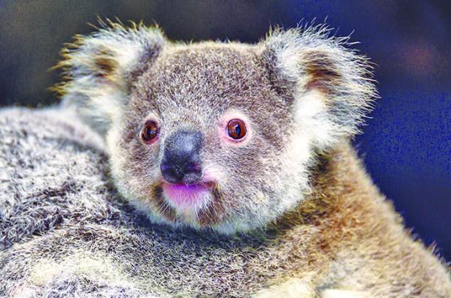Zoo Miami mourns the loss of koala, 'Hope'