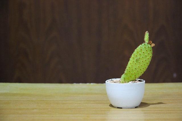 Como sembrar cactus
