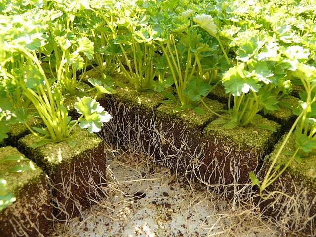como plantar perejil
