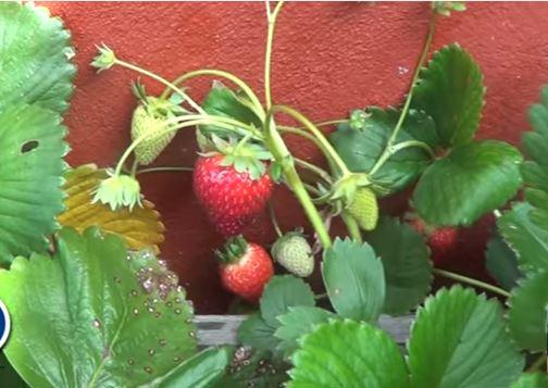 como sembrar fresas: cuidados, cultivos y cosache
