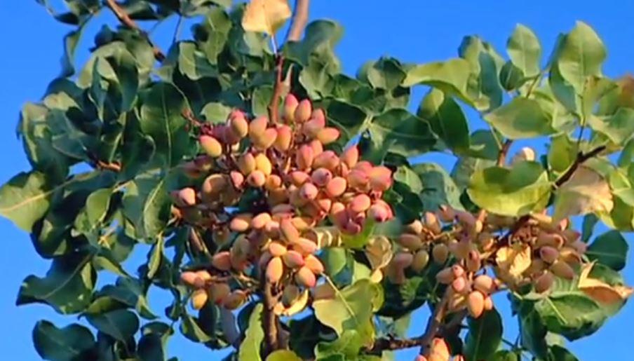 como sembrar pistacho