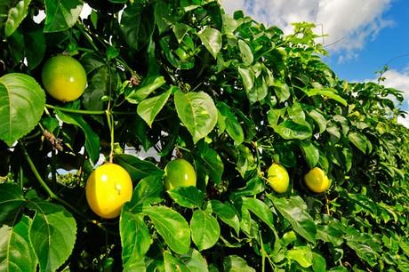 Como sembrar maracuya plantacion cuidados y cosecha for En cuanto tiempo se cosecha la tilapia
