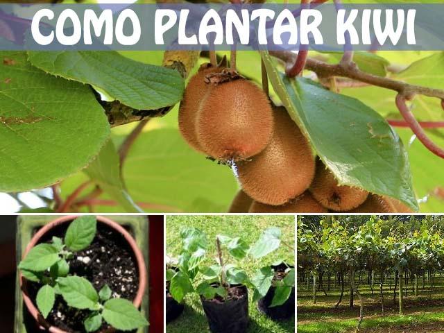 como plantar kiwis