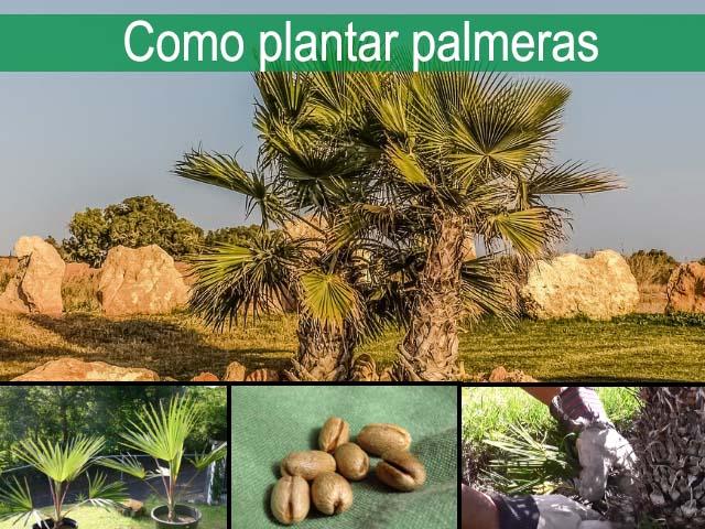 como plantar palmeras