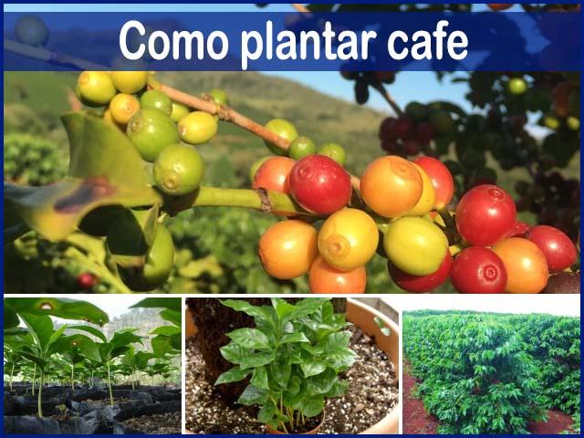 C mo plantar caf cuidados del cultivo y como se cosecha for Arboles para plantar en verano