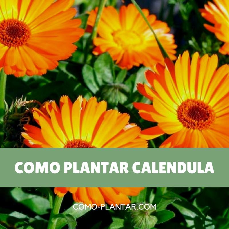 Como plantar caléndula, sus cuidados y como cosechar sus flores