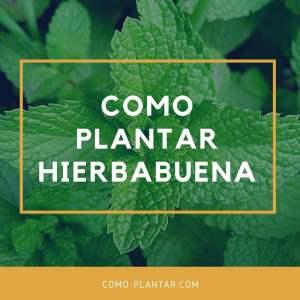 como plantar hierbabuena