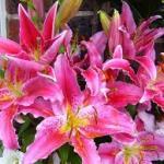 Lirios: Cultivo y plantación de esta bella bulbosa