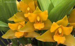 Como cuidar de orquídea Lycaste