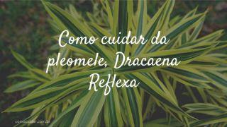 Como cuidar da pleomele, Dracaena Reflexa