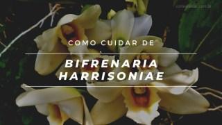 Como cuidar de Bifrenaria harrisoniae orquídea