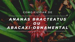 Como cuidar de abacaxi-ornamental ou Ananas bracteatus