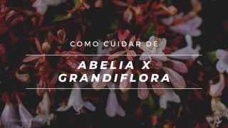 Como cuidar de abélia em vaso, Abelia Xx grandiflora