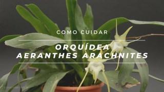 Como cuidar da orquídea Aeranthes arachnites