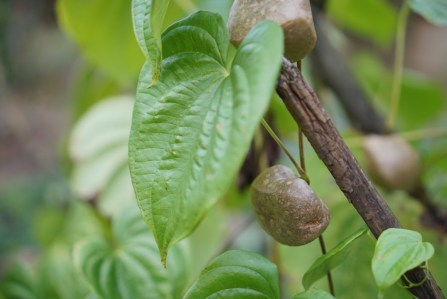 Cará do ar (dioscorea bulbifera)