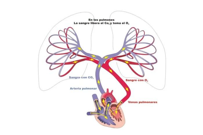 El sistema circulatorio a través de los pulmones