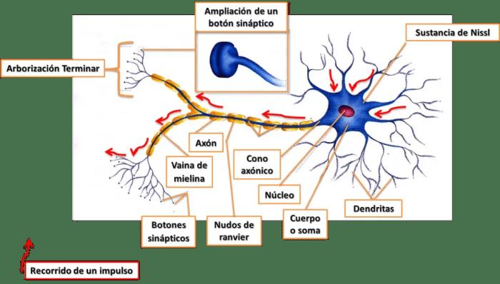 Estructura de una neurona