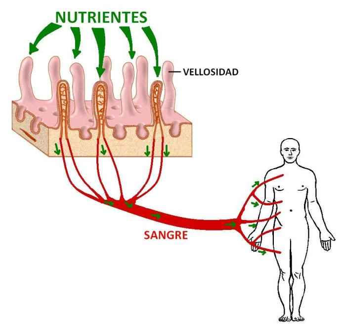 Transporte de nutrientes
