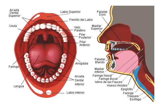 Descripción detallada de la estructura interna de la boca