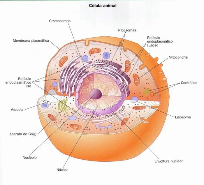 Las celulas animales cuentan con un nucleo en su interior encargado de transmitir la herencia genetica