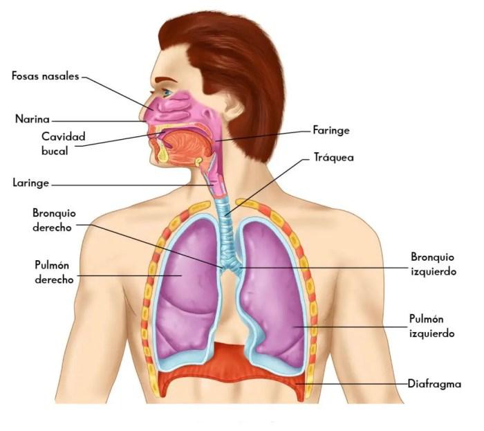 La respiracion se produce gracias a la conexion existente entre la faringe y la traquea