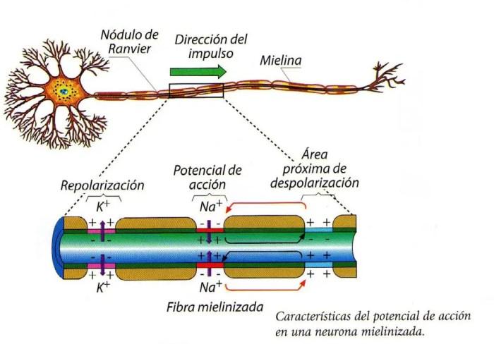 Un impulso nervioso es un potencial de accion que se propaga a lo largo de la neurona, dependiendo de la abertura de los canales de sodio y potasio