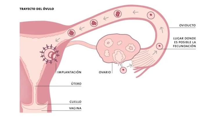 Breve descripcion del trayecto del ovulo la reproduccion es la funcion principal de la estructura del utero
