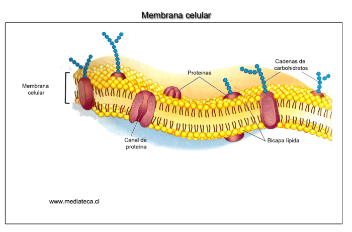 Membrana neuronal al detalle. Fuente: mediateca.cl1
