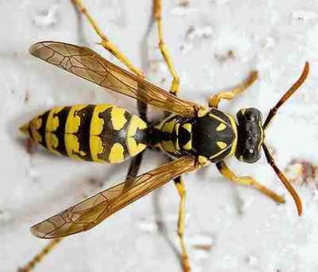 el veneno de las avispas brasile as mata a las c lulas