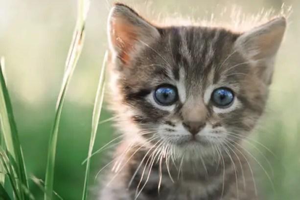 gato responsable de ira toxoplasmosis