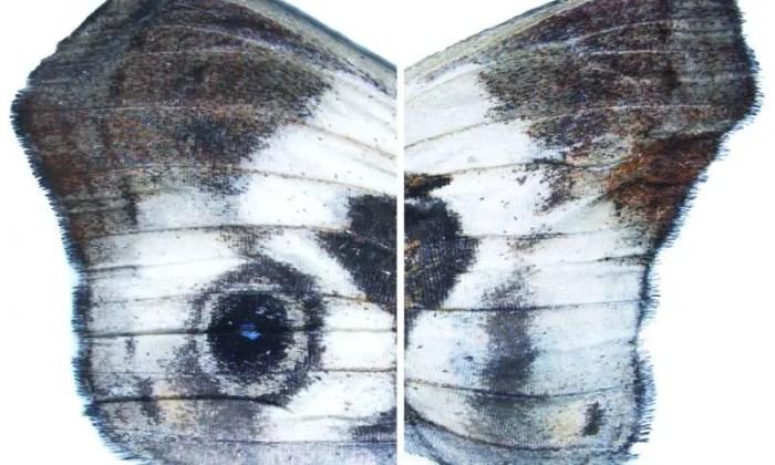 ojos en alas de mariposa caligo