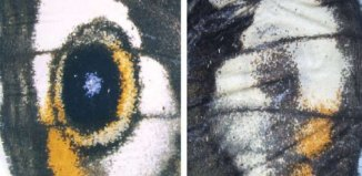 marcas de ojos en alas de mariposa caligo