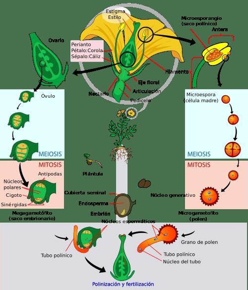 moss diagram labeled carrier air conditioner wiring plantas angiospermas - cómo hacer un ensayo bien