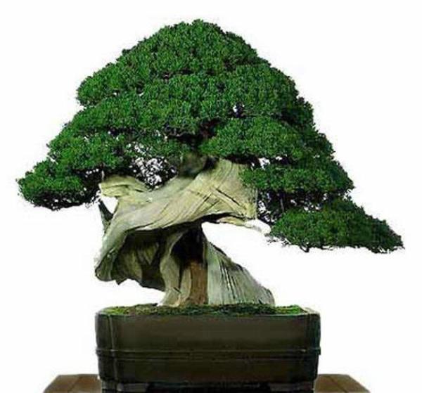 C mo cuidar un bons i c mo lo puedo hacer - Como cuidar un bonsai ...