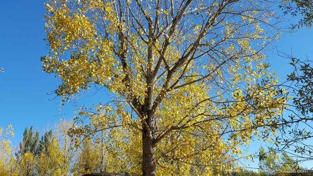 arbol otoño escalona toledo